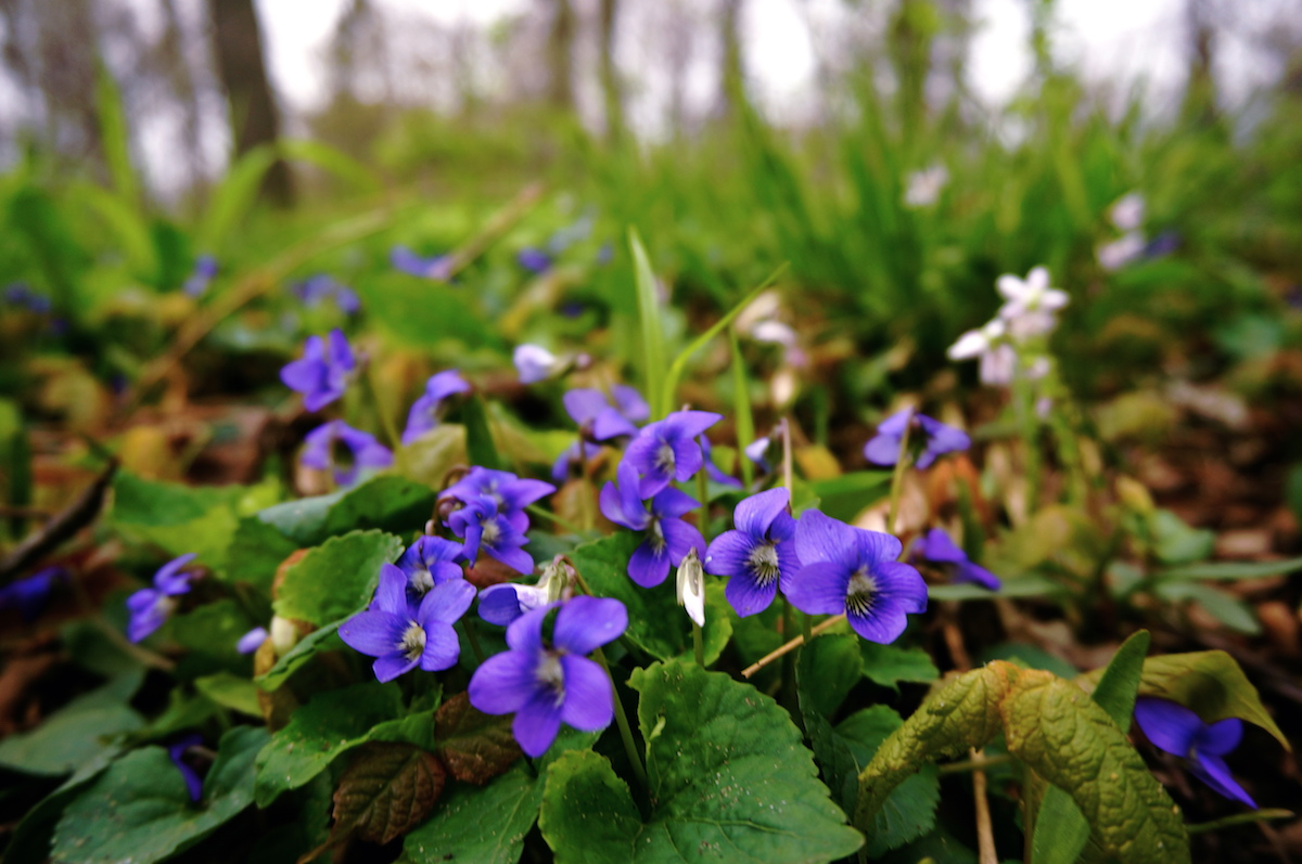Photo of violets in lawn