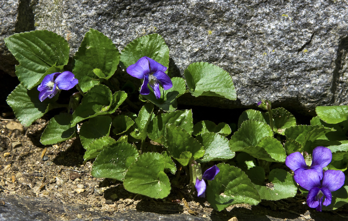 Photo of violets with bokeh
