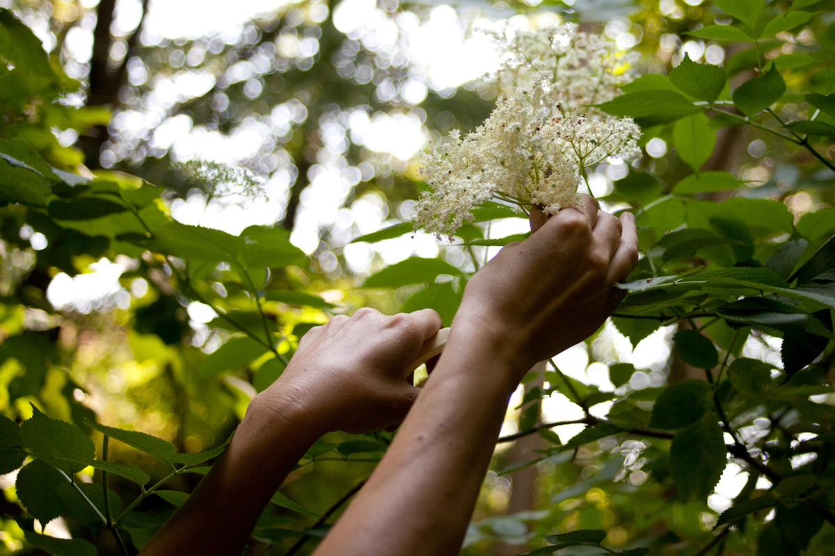 Picking elderflower
