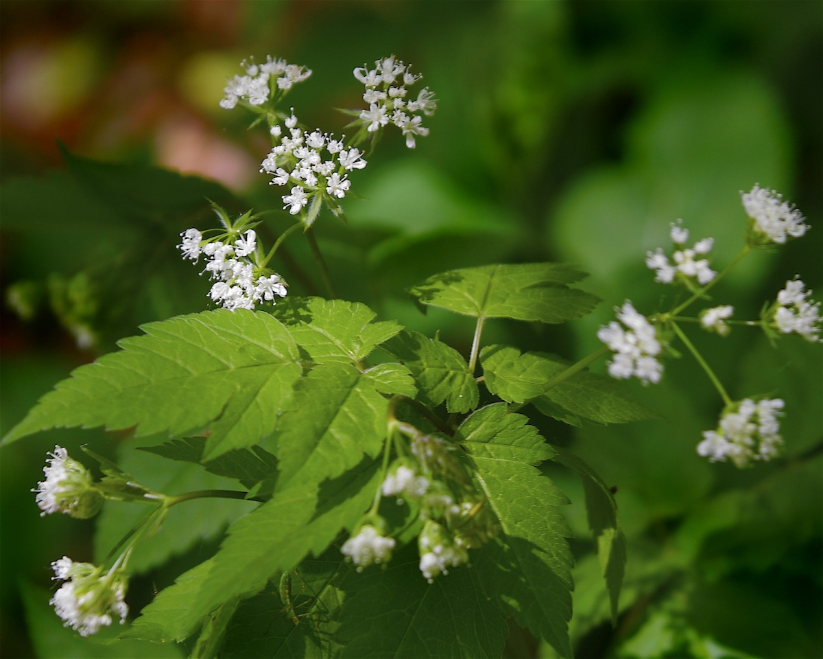 Photo of Sweet Cicely