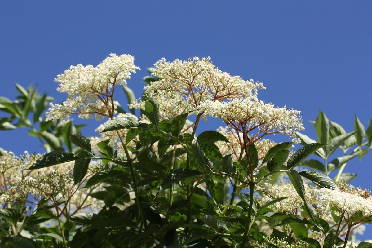 Photo of Elderflowers